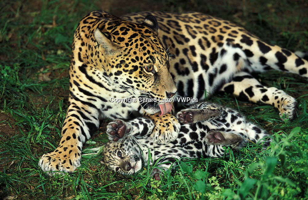 Jaguar, panthera onca, Female Licking Cub