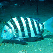 Sheepshead inhabit sand and rocky rubble areas in Florida and continental coast from Nova Scotia to Brazil; picture taken Jacksonville, FL.