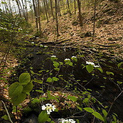 Viburnum blooms next to Gulf Brook in Gulf Brook Ravine.  Pepperell, MA.  Early spring. Ravine was formed by the Wekepeke Fault.