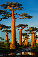 Baobab (Adansonia grandidieri), near Morondava, Madagascar Image by Andres Morya