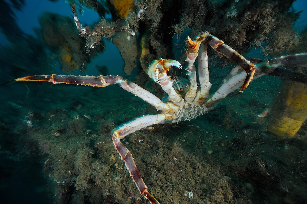 King Crab in the arctic