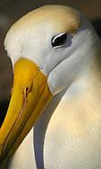 Alberto Carrera, Waved Albatros, Galápagos Albatros, Phoebastria irrorata, Galápagos National Park, UNESCO, World Heritage Site, Biosphere Reserve, Galápagos Islands. Ecuador, South America