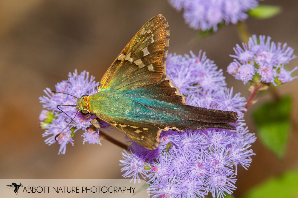 Long-tailed Skipper - Hodges#3886 (Urbanus proteus)<br /> United States: Alabama: Tuscaloosa Co.<br /> Tulip Tree Springs off Echola Rd.; Elrod<br /> 7-Oct-2017<br /> J.C. Abbott #3000