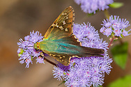 Long-tailed Skipper - Hodges#3886 (Urbanus proteus)<br /> United States: Alabama: Tuscaloosa Co.<br /> Tulip Tree Springs off Echola Rd.; Elrod<br /> 7-Oct-2017<br /> J.C. Abbott #3000