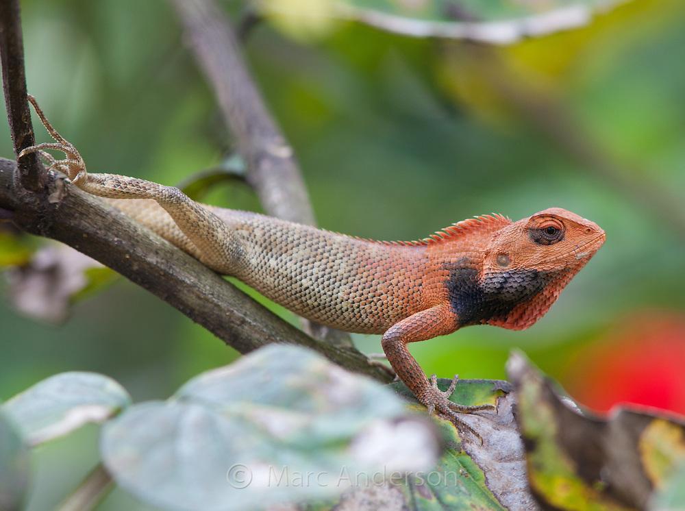 Oriental Garden Lizard, Calotes versicolor, Nepal