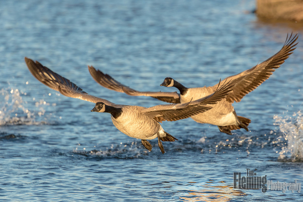 Canada Geese  taking off from the water