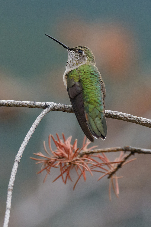 Hummingbird near Walker Ranch, Boulder, Colorado
