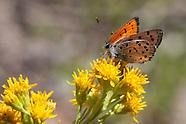 Lycaena cupreus lapidicola - Lustrous Copper