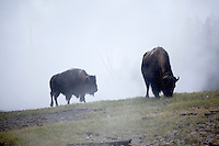 Pair of Bison Along Mud Volcano Trail, Yellowstone National Park, Wyoming