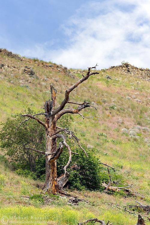 A dead Ponderosa Pine (Pinus ponderosa) on a grassy hillside in Vernon, British Columbia, Canada