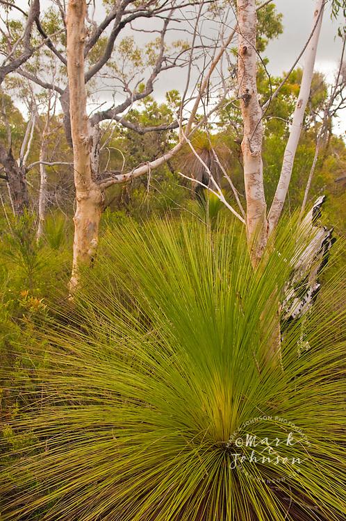 Scribbly Gums & Grass Trees, Telegraph Track, Moreton Island, Queensland, Australia