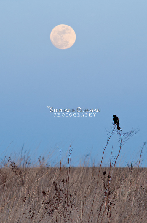 A bird looks out to the prairie as the moon rises in early spring