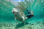 Snorkeler and endangered Florida Manatee (Trichechus manatus latirostris) in Three Sisters Spring in Crystal River, FL. Manatees and their dwindling habitat are under threat by unstoppable development in the state of Florida.