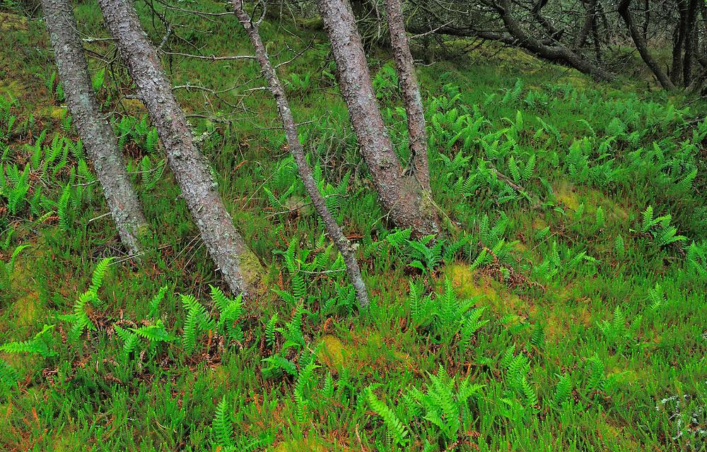 Mountain Pines (Pinus mugo) at  the Thagårds Plantation - National Park Thy, Denmark