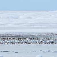flocks of snow geese rest on freezeout lake, montana,