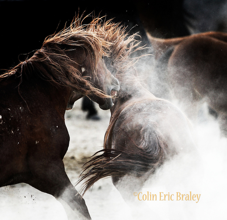 One of the largest herds of wild horses in the western U.S. arrive at a watering hole in the desert lands of central Utah, July 11, 2009. Colin E. Braley