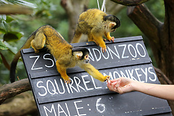 © Licensed to London News Pictures. 02/01/2020. London, UK. A London Zoo keeper with Squirrel monkeys during the annual stocktake at London Zoo. London Zoo undertakes its annual stocktaking which is carried out at the the start of each year. Every animal in London Zoo is weighed and measured and the statistics is shared with other Zoos across the world. Photo credit: Dinendra Haria/LNP