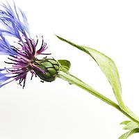 Single blue flower on white background