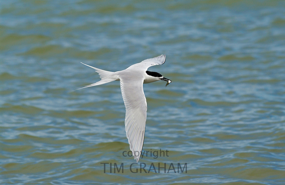 White-fronted tern  (Sterna Striata) in flight with fish in beak, across the Hauraki Gulf off the Coromandel Peninsula,  North Island, New Zealand
