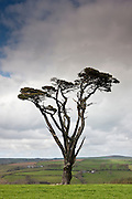 Lone Scots Pine on Bodmin Moor, Cornwall, England, UK