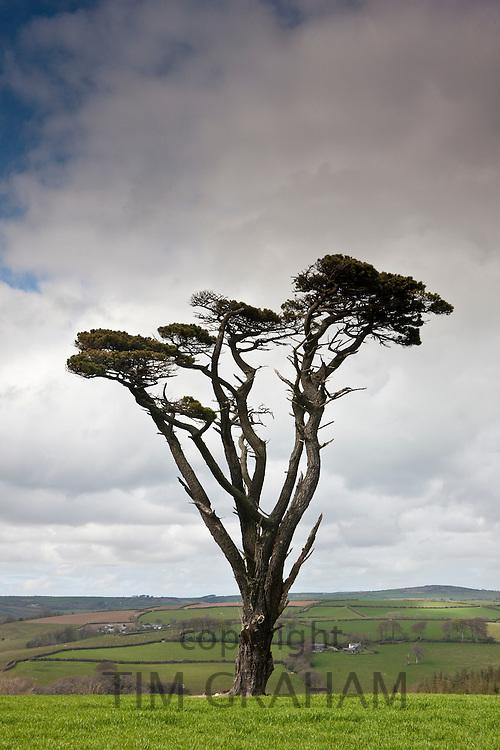 Lone Scots Pine on Bodmin Moor, Cornwall, England, UK