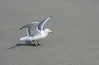 A Herring Gull prepares for flight on the beach at Ogunquit, Maine.