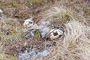 Black Brant; Branta bernicla nigricans, nest, eggs predated by gull, Yukon Delta NWR, Alaska
