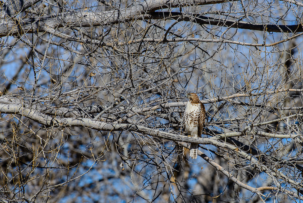 Red-tailed Hawk [Buteo jamaicensis] perched; Bosque del Apache National Wildlife refuge, New Mexico