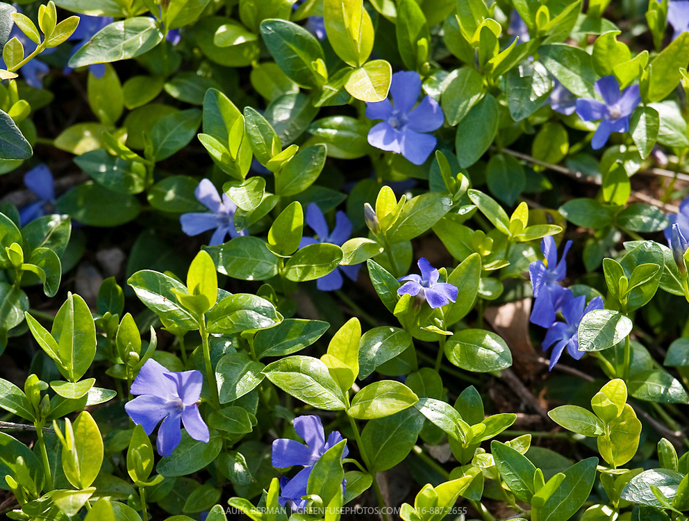 The glossy green leaves and bright blue flowers of Periwinkle ( Vinca minor)
