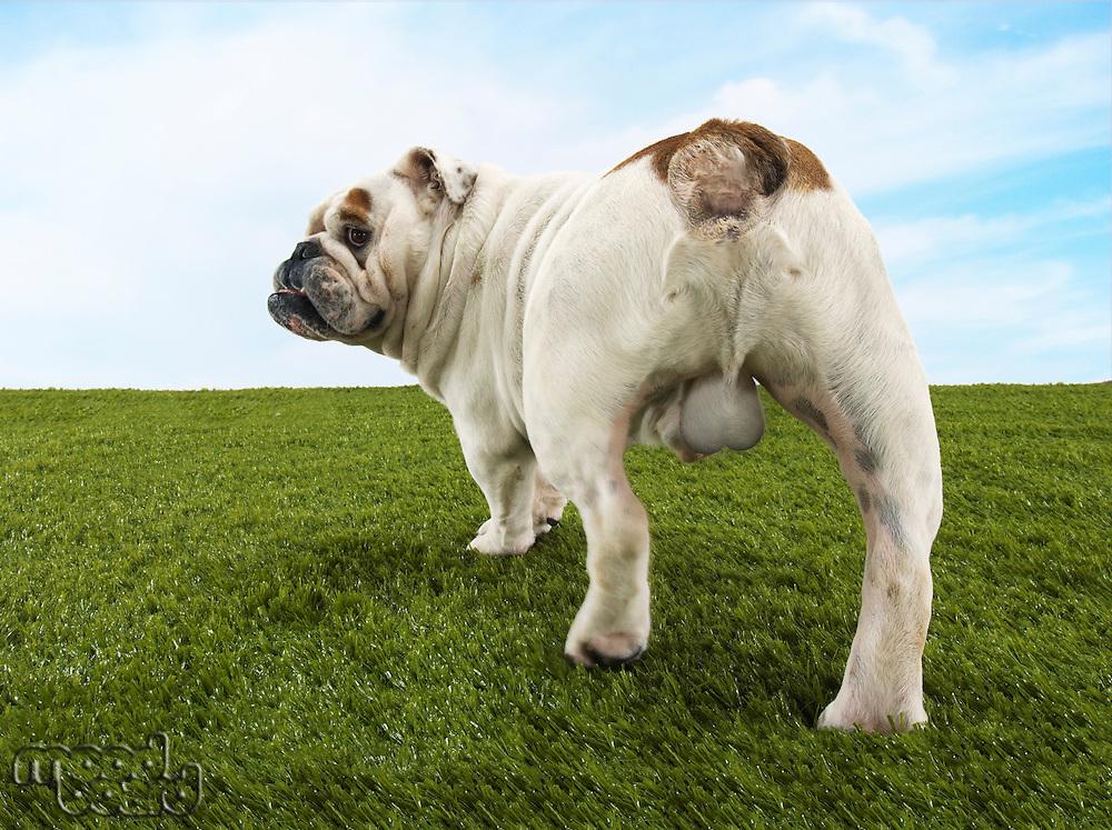 Male bulldog standing back view