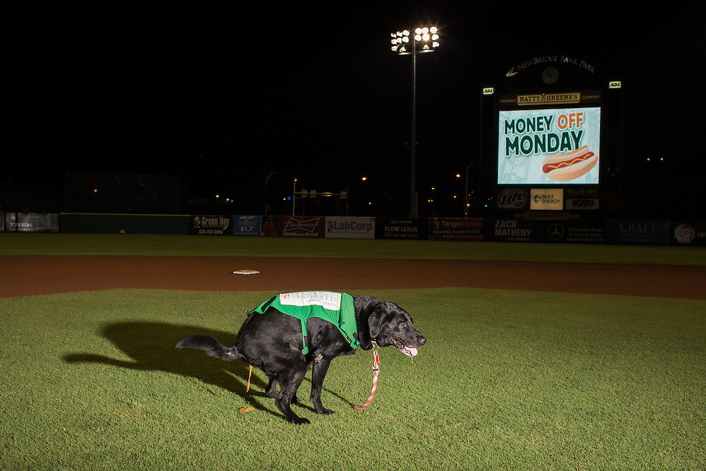 "Miss Babe Ruth, a bat dogs for the Greensboro Grasshoppers poops in her favorite infield spot following a game against the Hickory Crawdads at NewBridge Bank Park, Greensboro, North Carolina, Monday, June 21, 2014. ""To them, this is just their backyard,"" said General Manager Donald Moore with a chuckle."