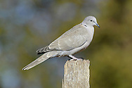 Collared Dove Streptopelia decaocto L 32cm. Relatively recent arrival to Britain and Ireland but now a familiar sight and sound in urban areas. Often seen in pairs. Sexes are similar. Adult has mainly sandy brown plumage with pinkish flush to head and underparts, and dark half-collar on nape. Black wingtips and white outer tail feathers are striking in flight. Bill is dark and legs are reddish. Juvenile is similar duller colours and lacks black half-collar. Voice Utters repetitive song comprising repeated oo-oo-oo phrase. Status Spread NW through Europe in 20th Century and first seen here in 1950s.