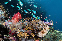 Hard Corals thrive and reef fish feed in the current beneath a limestone islet's overhang.<br /> <br /> Shot in Raja Ampat Marine Protected Area West Papua Province, Indonesia