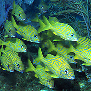 French Grunt inhabit reefs in Tropical West Atlantic; picture taken Key Largo, FL.