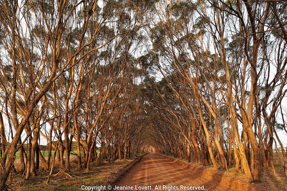 Tree covered road in Penneshaw, kangaroo island.