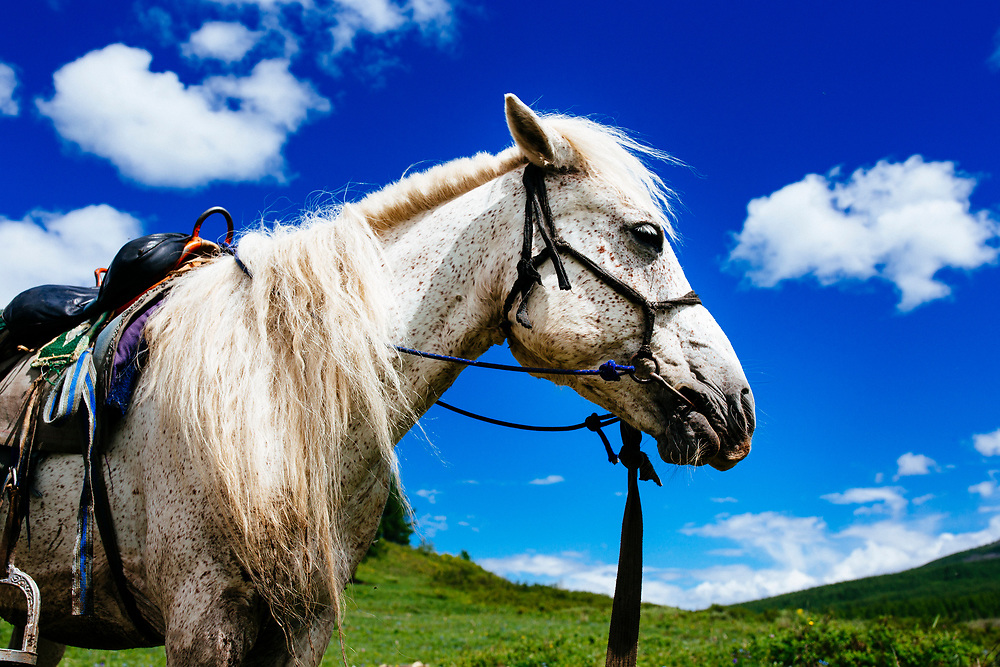 A mounted horse in the northern mountains of Mongolia.