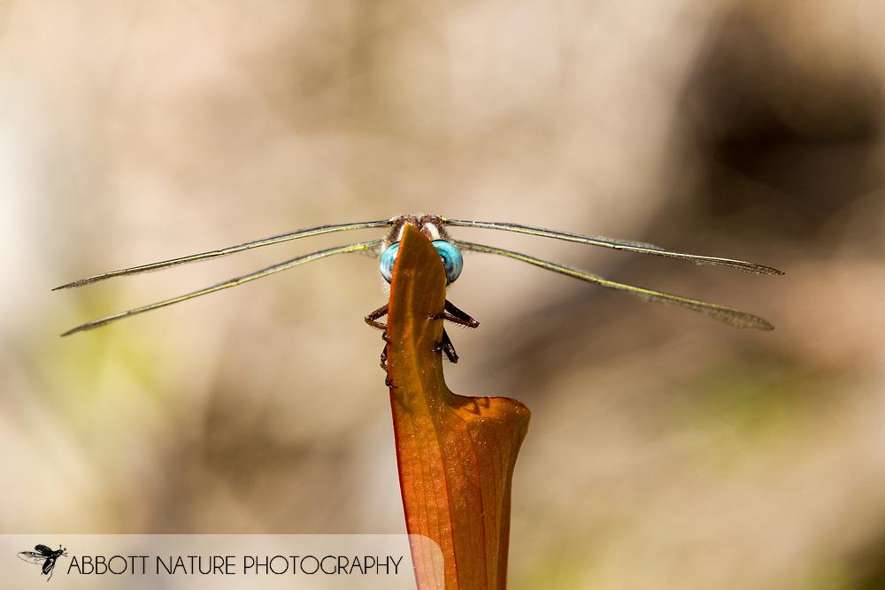 Sarracenia Spiketail (Cordulegaster sarracenia) - male<br /> TEXAS: Jasper Co.<br /> Boykin Springs Recreational Area; Angelina National Forest, Pitcher Plant Bog<br /> 7-April-2016<br /> J.C. Abbott &amp;  K.K. Abbott #2792