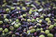 Olive production, western Turkey.
