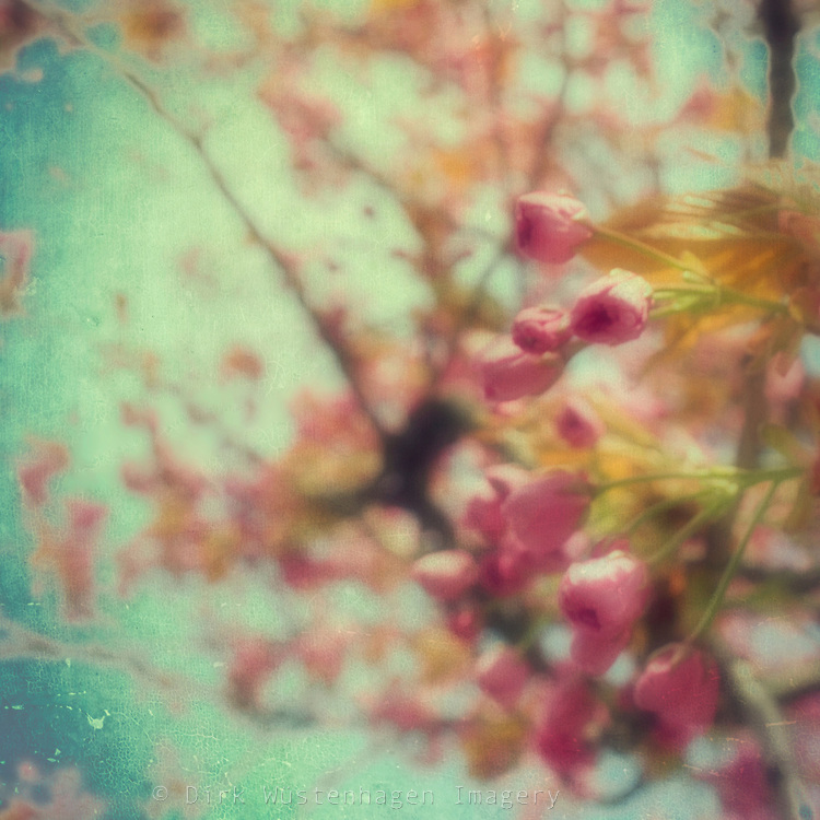 Softly textured cherry blossoms.<br /> <br /> Prints &amp; more:<br /> http://society6.com/DirkWuestenhagenImagery/soft-spring-impression_Print
