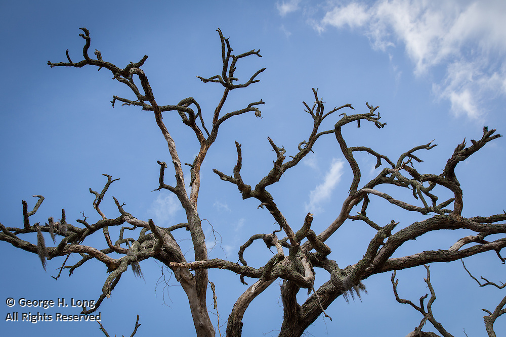 bare limbs of hurricane ravaged oak tree in Mandeville, Louisiana