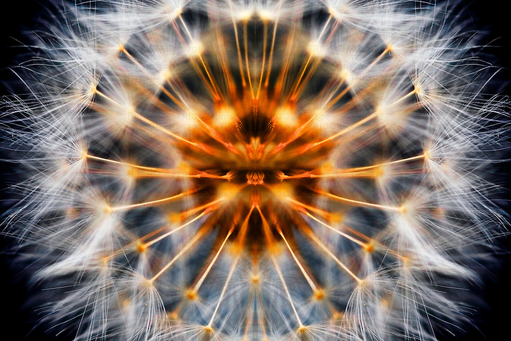 Dandelion Clock abstract mirrored to make a perfect dandelion.