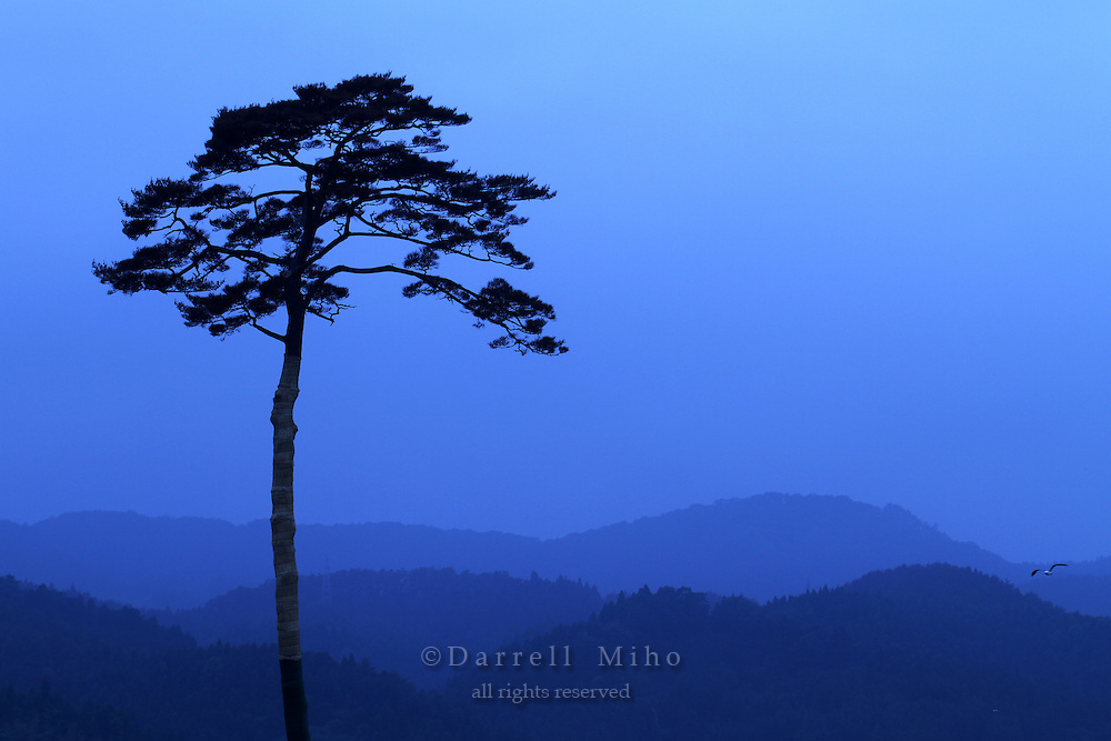 June 12, 2011, Rikuzentakata, Iwate Pref., Japan - The Ippon Matsu  or solitary pine tree stands alone on the coast of Rikuzentakata. it survived the magnitude 9.0 earthquake and tsunami that devastated the Northeast coast of Japan on March 11, 2011. <br /> <br /> Hundreds of other nearby pine trees were snapped like toothpicks from the tsunami that wiped out 75% of the homes in the city.<br /> <br /> As a result, this one pine tree has become a symbol of the Japanese strength and spirit in the aftermath of the disasters in northeast Japan..
