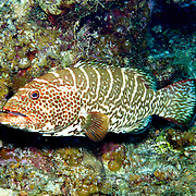 Tiger Grouper inhabit reefs in Tropical West Atlantic; picture taken Little Cayman.