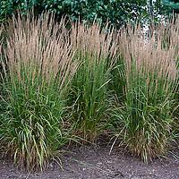 Calamagrostis× acutiflora 'Karl Foerster' --Feather reed grass