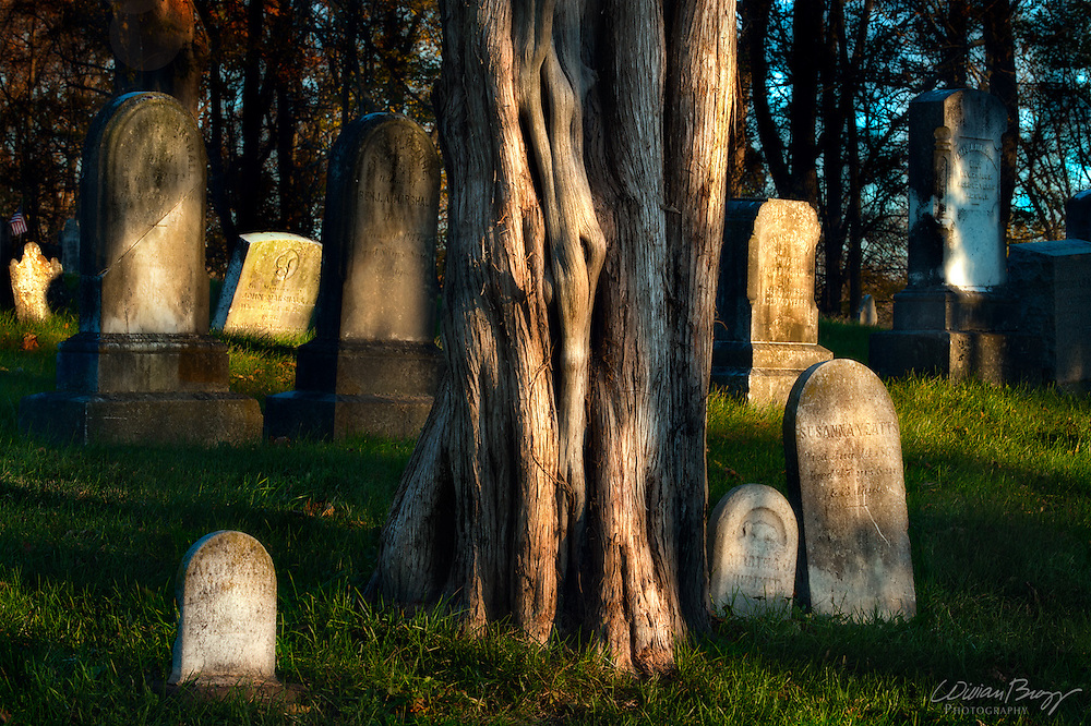 Eastern Red Cedar and gravestones in an old cemetery
