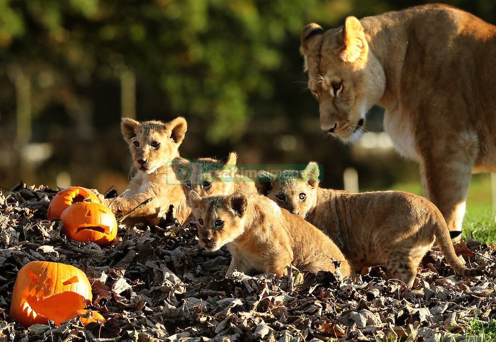 Mum Karis watches as her cubs play with pumpkins at Blair Drummond Safari Park near Stirling, as keepers placed the treats in the enclosure ahead of the park's Halloween weekend.