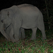 Wild juvenile Asian Elephants, Elephas maximus. Pang Sida National Park, Thailand.