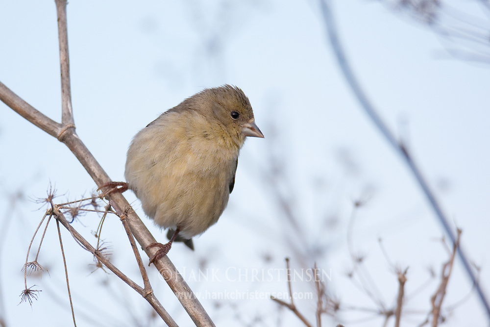 A female lesser goldfinch perches on wetland vegetation, craning her head to look in all directions