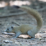 The grey-bellied squirrel (Callosciurus caniceps) is a species of rodent in the family Sciuridae.