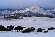 Buffalo (bison) herd in meadow at dawn after fall storm, near Lower Geyser Basin, Yellowstone National Park, Wyoming